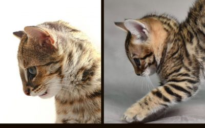 The Bengal profile and head