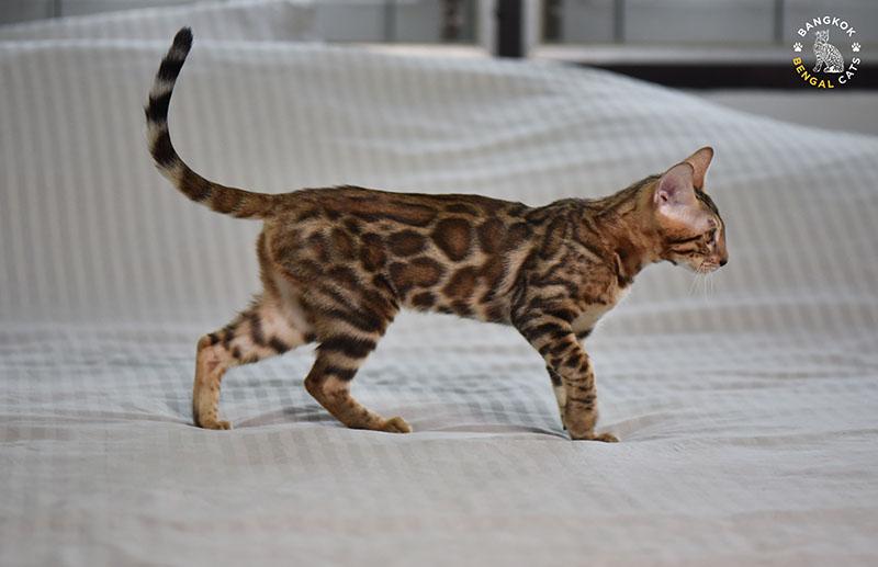 Bangkokcats Carmen