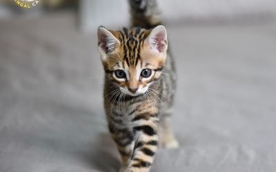 What does define the quality of a Bengal?