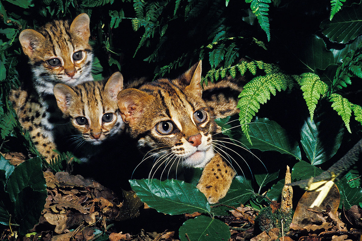 Asian Leopard cats in the wild