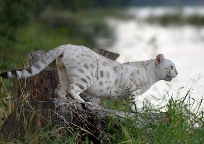 Batifoleurs Tango of Bangkokcats